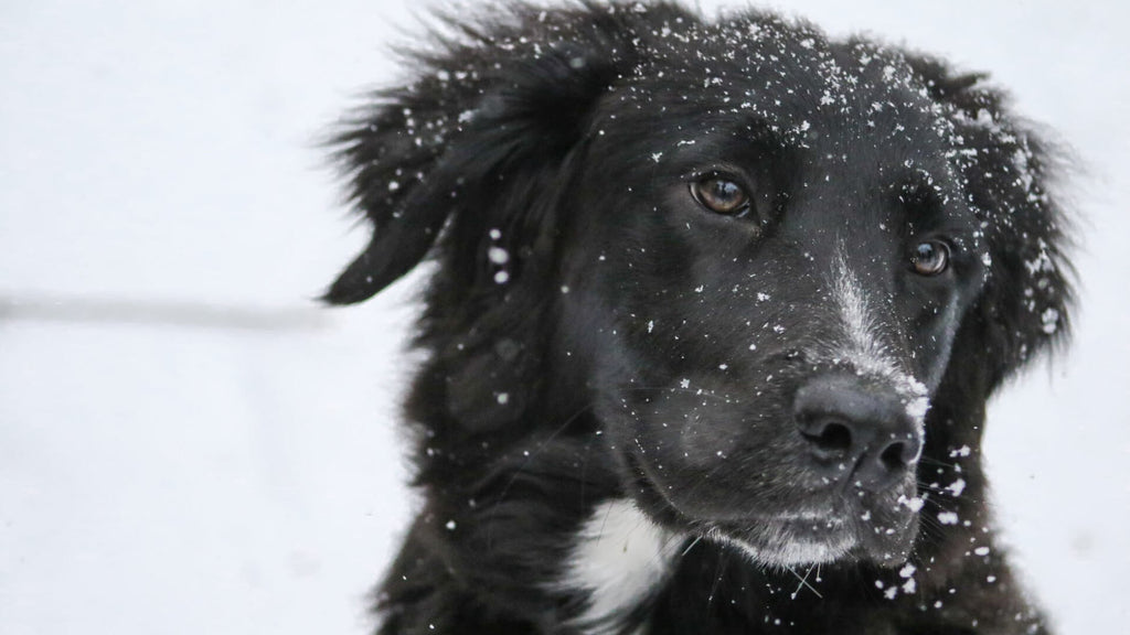 Six Tips to Get Your Dog Ready for Winter