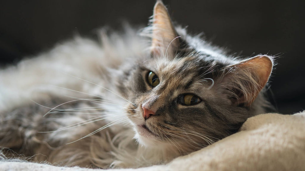 Why is taurine so important for your cat?