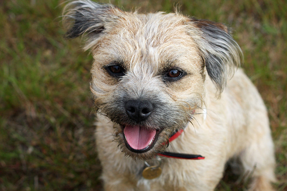 Breed portrait: Border Terrier