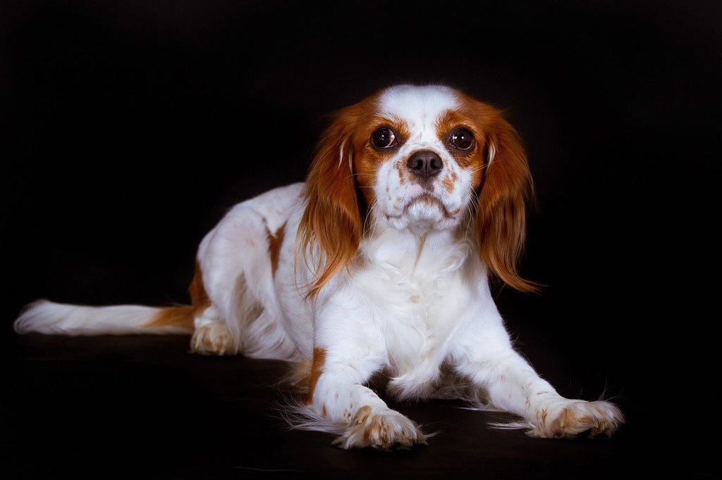 Cavalier King Charles Spaniel - Breed Portrait