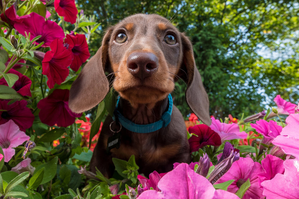 Poisonous Plants - Dangers in Garden and Nature for Dogs and Cats