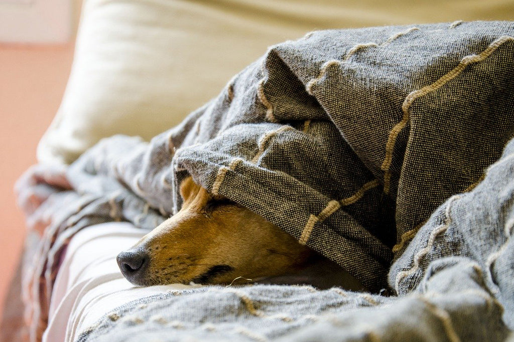 Spring Fatigue in Dogs