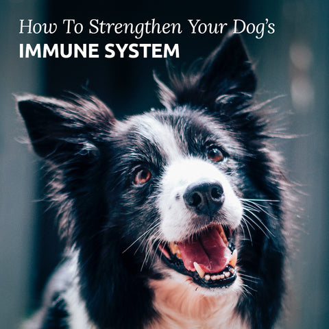 how to support your dog's immune system