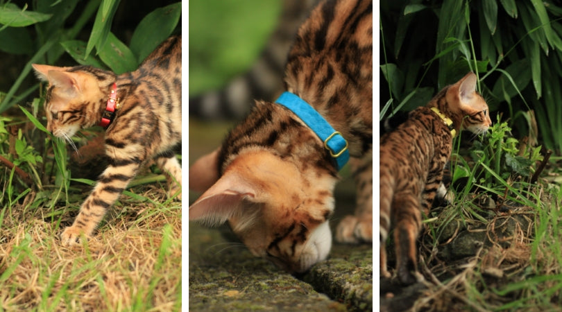 Kitten collars by Supakit