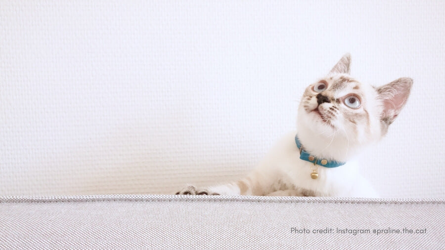 When is your kitten ready for an adult collar?
