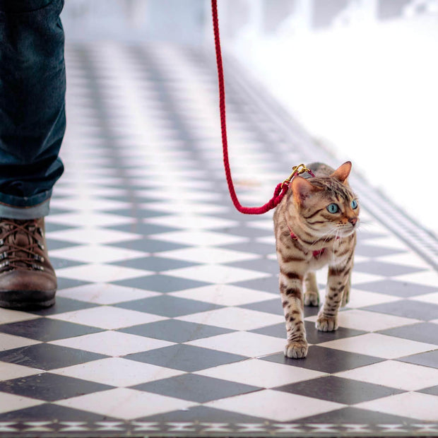 Bengal cat leash - Supakit - Gatsby
