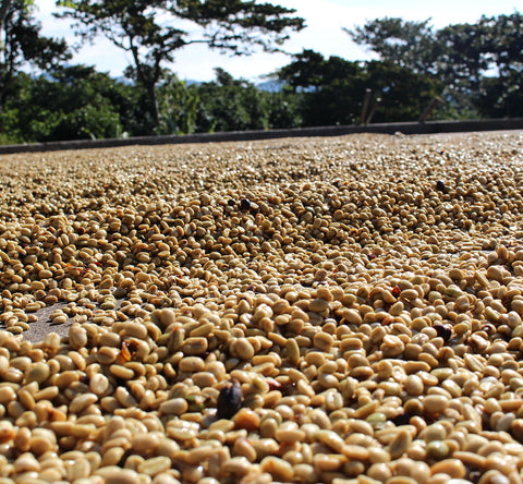 honey beds drying coffee