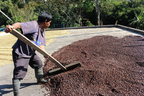 natural rake coffee process