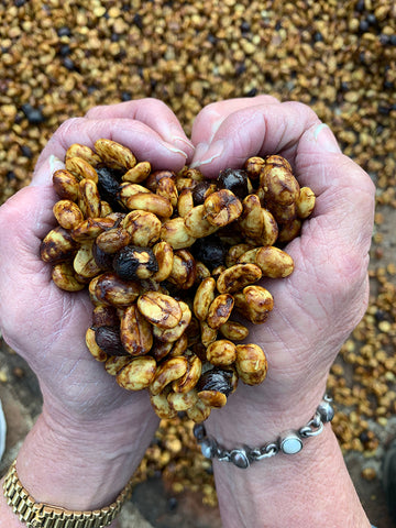 honey processed coffee beans in hand cherries
