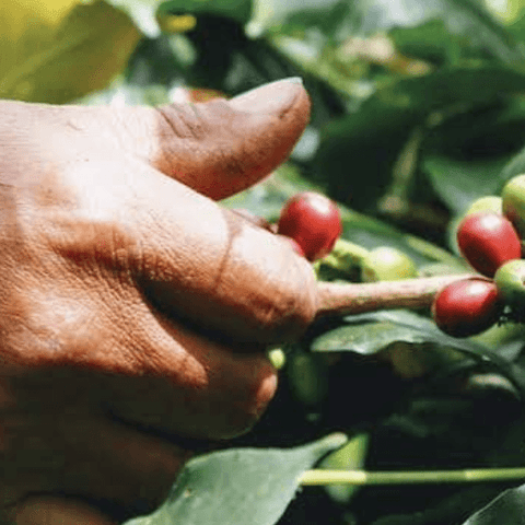 Green-Unroasted Colombia Coffee For Peace