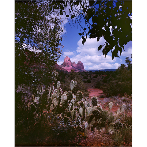 Prickly Pear Cactus On Schnebly Hill