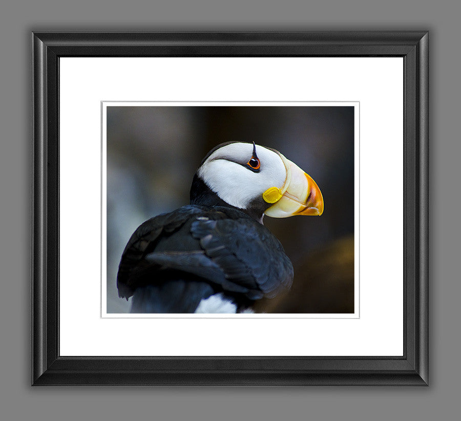 Alaskan Horned Puffin