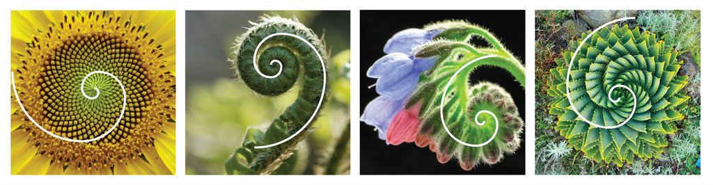 golden ratio in plants