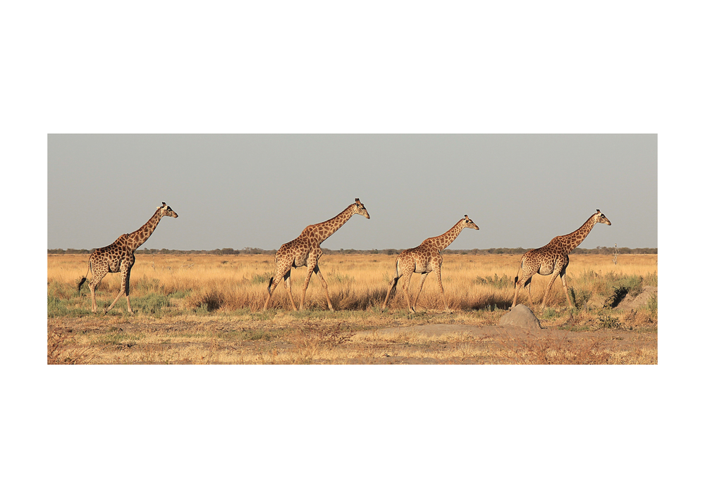 Giraffe Botswana Train