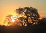 Sunset Through Acacia Tree