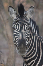 Zebra Head On