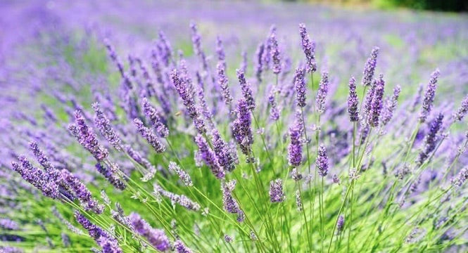 Lavender Benefits For Skin Beautify With A Healing Botanical
