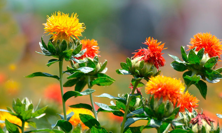 SAFFLOWER SEED OIL BENEFITS FOR SKIN