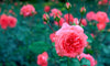 THE MANY BENEFITS OF ROSES FOR SKIN