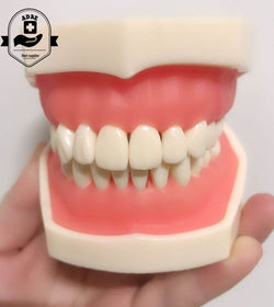 ADAE AD028 dental study model - ADAE Dental Online Store
