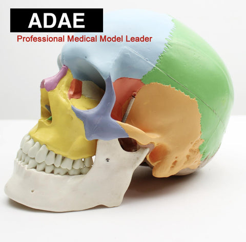 ADAE AD019 human skull with marked colored bones (Natural size) - ADAE Dental Online Store