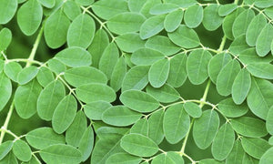 Your Questions Answered: What is Moringa Good For?