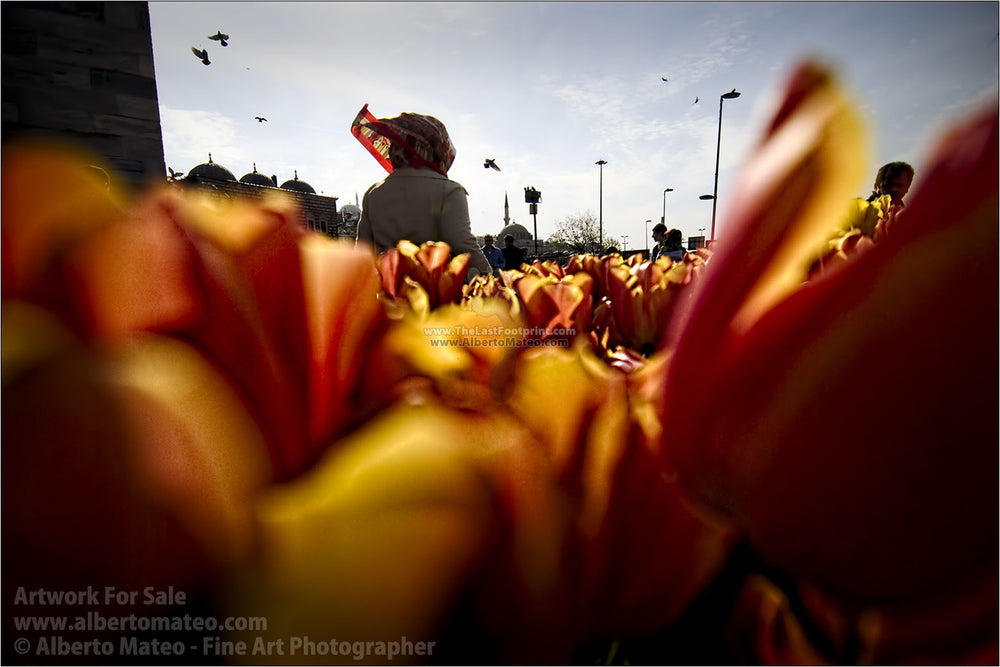 Tullips in spring, Istanbul, Turkey. | Unlimited Edition Print.