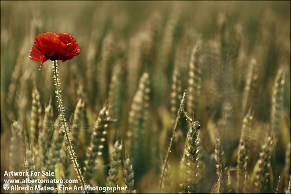 Poppy flower in wheat fields, Aero Island, Denmark. | Original Fine Art Print.