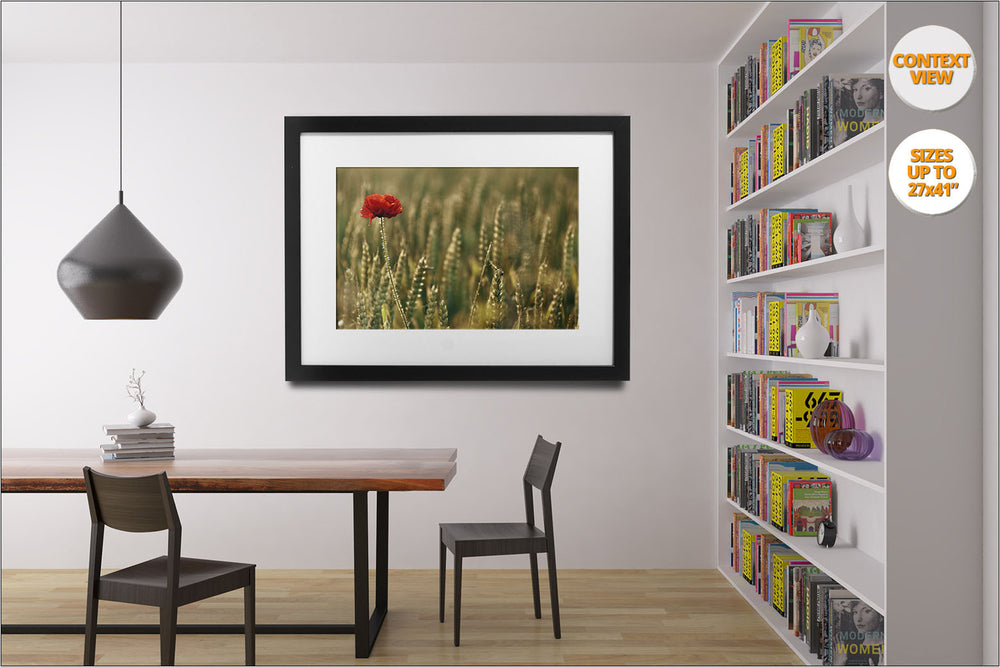 Poppy flower in wheat fields, Aero Island, Denmark. | Open Edition Print hanged in reading room.