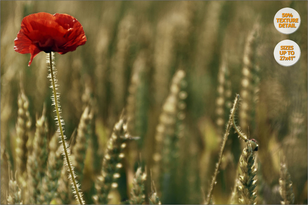 Poppy flower in wheat fields, Aero Island, Denmark. | 50% Detail View.