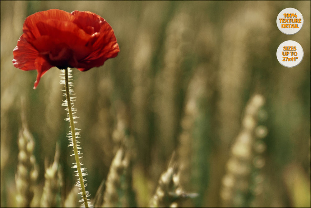 Poppy flower in wheat fields, Aero Island, Denmark. | 100% Magnification Detail.
