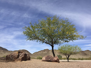 Mesquite and Its Amazing Relationships in Nature