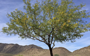 The Amazing Mesquite Tree
