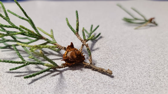 Cedar Apple Rust On Juniper Bonsai