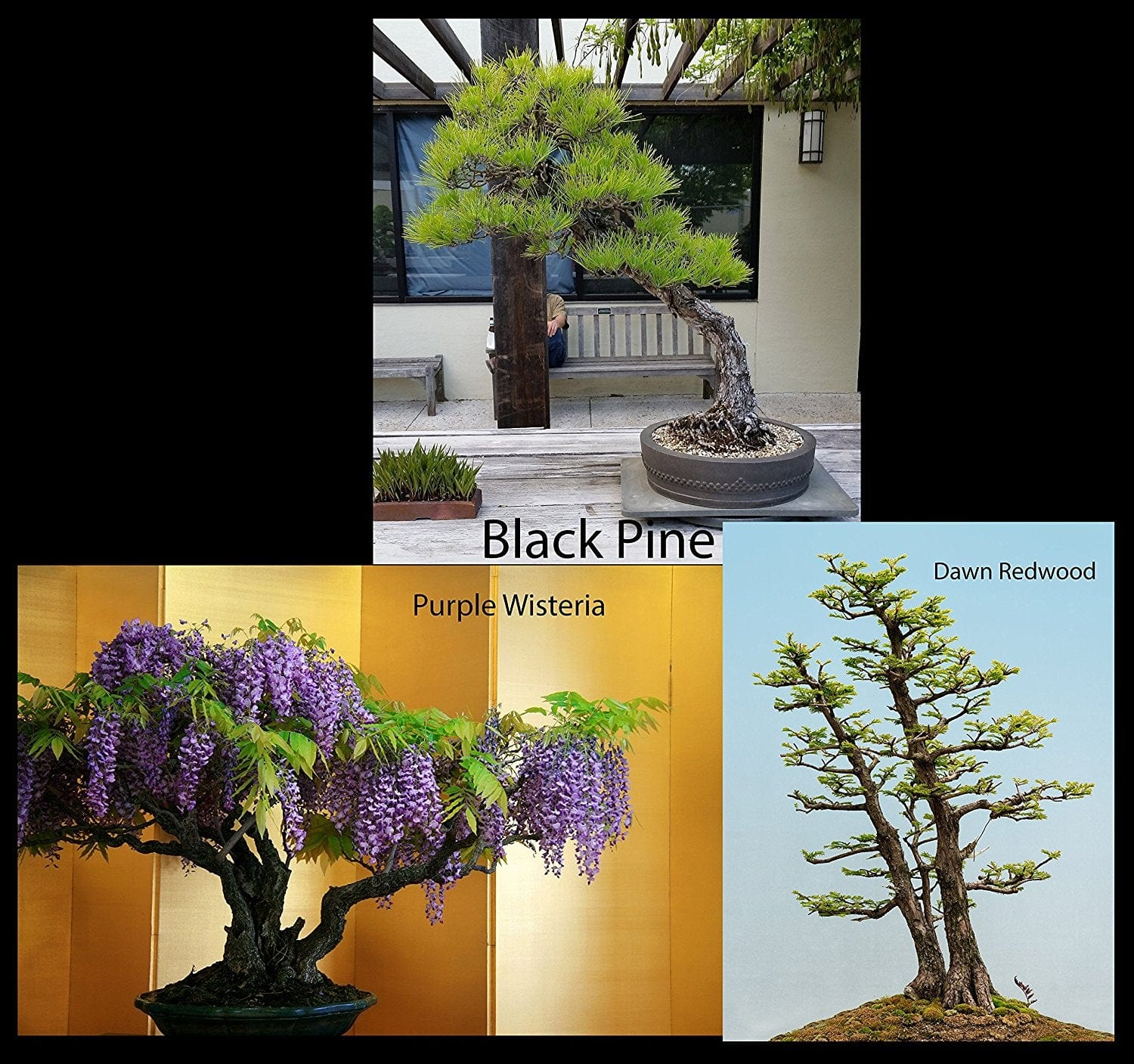 Traditional Bonsai Tree Starter Seed Kit Black Pine Wisteria Dawn Superfly Bonsai