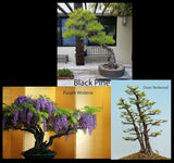 Premium Bonsai Tree Starter Seed Kit - Black Pine, Wisteria & Dawn Redwood