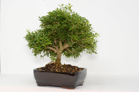 Boxwood Buxus Compacta Outdoor Bonsai Tree - Ceramic Pot - Small 6