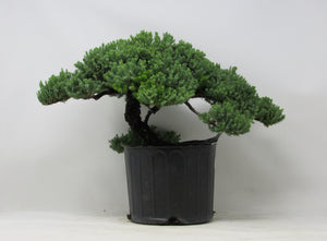 "Shohin Green Mound Juniper Juniperus procumbens H x 9"" W x 14"" L x 14"" Outdoor Bonsai Tree"