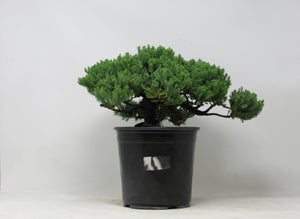 "Shohin Green Mound Juniper Juniperus procumbens H x 7"" W x 13"" L x 12"" Outdoor Bonsai Tree"