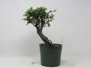 "Shohin Chinese Elm Ulmus parvifolia Outdoor Bonsai Tree 9"" tall"