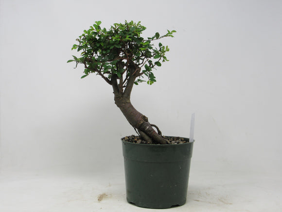 Shohin Chinese Elm Ulmus parvifolia Outdoor Bonsai Tree 9