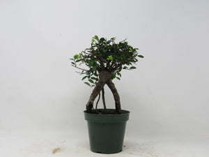 "Shohin Chinese Elm Ulmus parvifolia Outdoor Bonsai Tree 7"" tall"
