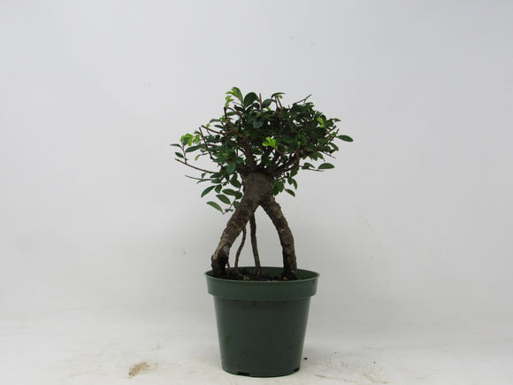 Shohin Chinese Elm Ulmus parvifolia Outdoor Bonsai Tree 7