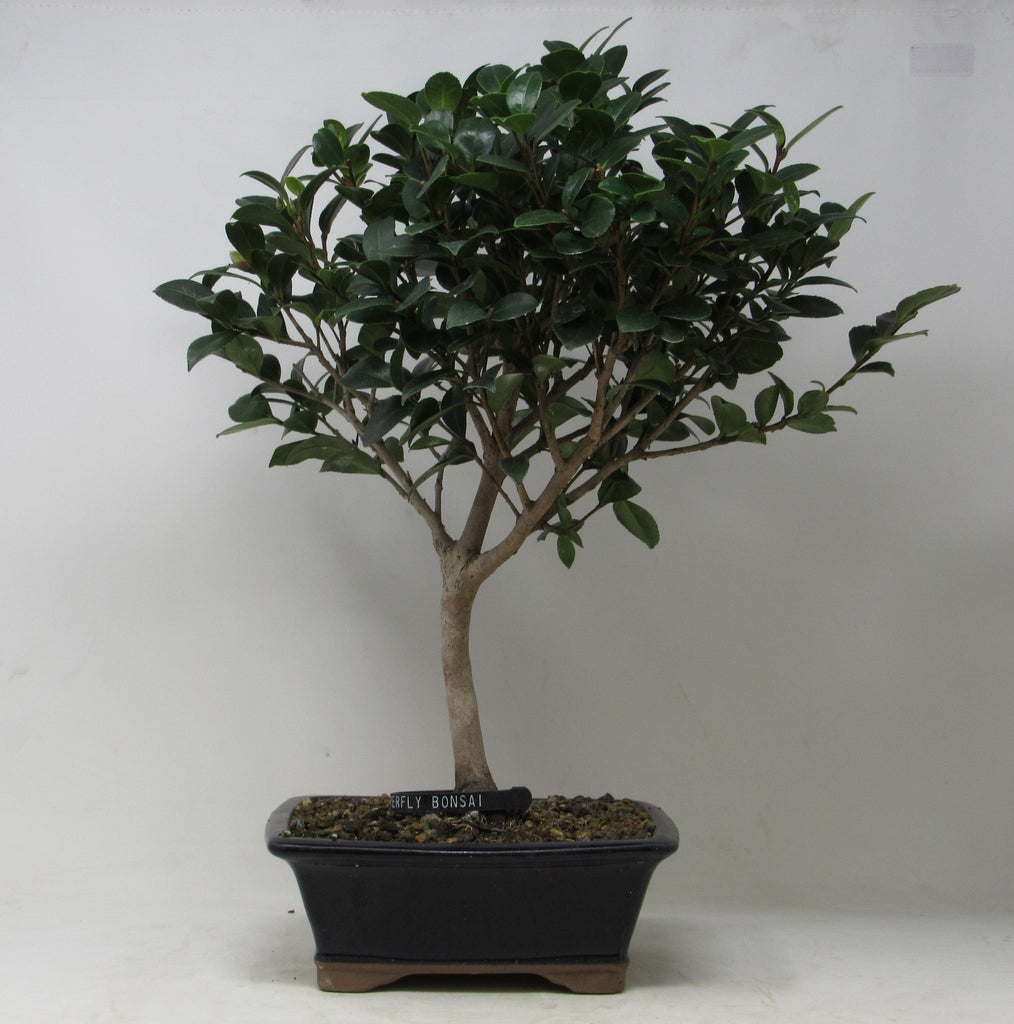 "Camellia ""sasanqua"" Outdoor Bonsai Tree 15""H x 13""W pot 8"" W x 6""D x 3"" H"