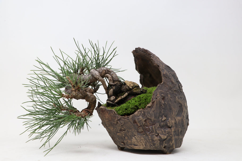 "Black Pine Shohin Bonsai exposed root in crescent pot - 4"" H x 8"" L x 6"" W - Outdoor Bonsai Tree"