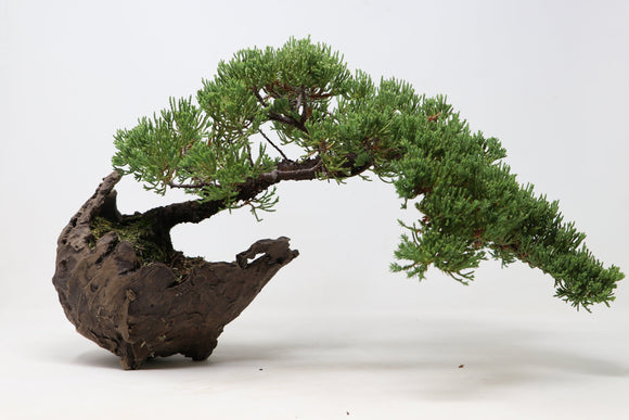 Semi Cascade Green Mound Juniper Bonsai Tree in Brian Soldano Crescent Pot