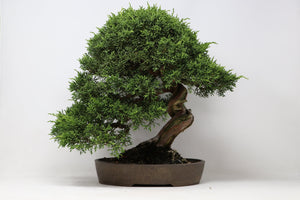 "Shohin Shimpaku Juniper Bonsai Import Juniperus chinensis 'Shimpaku' 14"" H x 12"" W Outdoor Bonsai Tree"