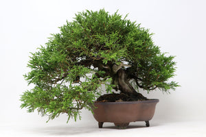 "Shohin Itoigawa Juniper Juniperus chinensis ""itoigawa"" import Specimen Bonsai Tree - Japanese Import 2 1/2"" x 6 1/2"" x 7"" Outdoor Bonsai Tree"