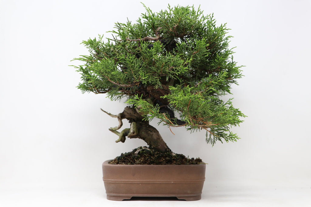 "Shohin Itoigawa Juniper Bonsai Import Juniperus chinensis ""itoigawa"" 11 1/2"" H x 14"" W Outdoor Bonsai Tree"