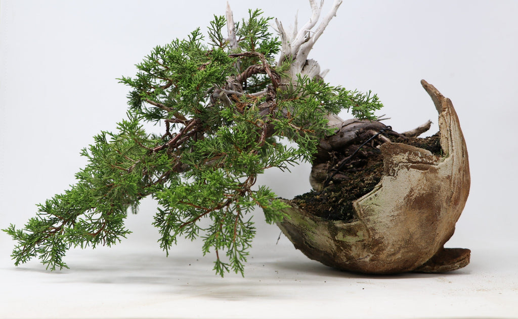 "Chuhin Itoigawa Juniper Bonsai Juniperus chinensis ""itoigawa"" 9"" H x 15"" W Takumi Container Outdoor Bonsai Tree"